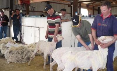 Ian Kramer's 3 ewe hoggets post shearing.  (L to R: 8.5kg - 19.7u, 9.5kg - 16.5u, 7.0kg, 19.9u)